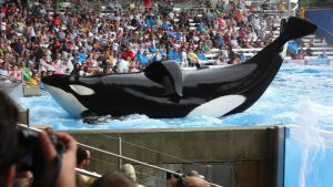 Tilikum in a scene from Black Fish, a Magnolia Pictures release.